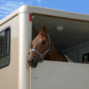 Horse in a shipping trailer