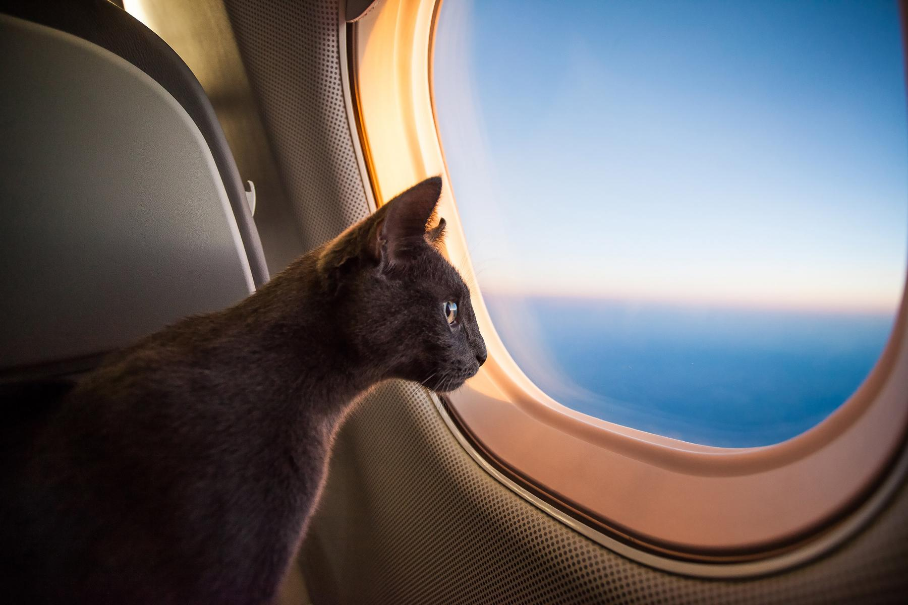 Cat on a plane