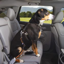 How to transport a dog in a car? 10 Simple Steps