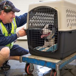 How do dogs get shipped on planes? Whole Process Explained