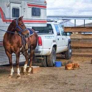 A horse tied to a trailer behind a truck