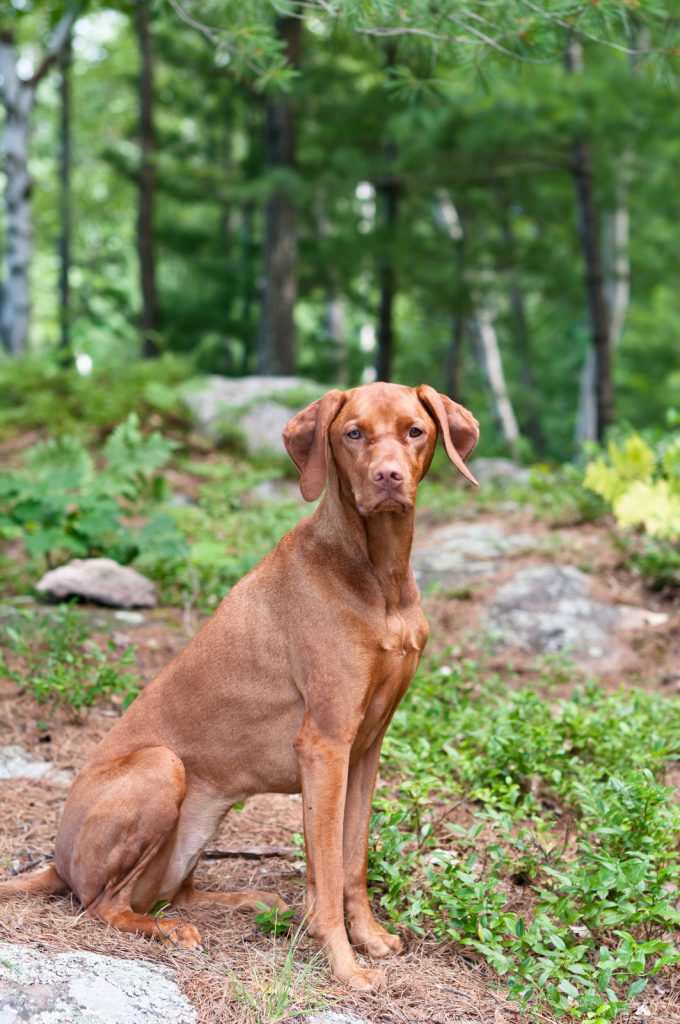 A female Vizsla dog sits in a wooded area.