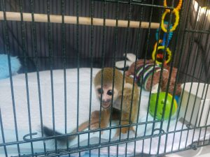Sugar glider in transportation pen